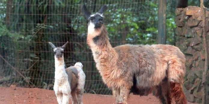 Filhote de Lhama é novidade no Bosque/Zoo de Ribeirão Preto